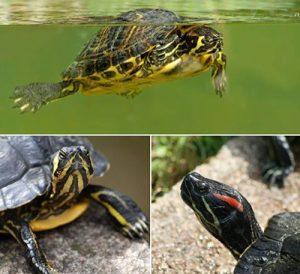 schildpadden A Cupulatta